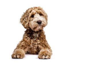 Should You Buy Designer Dogs