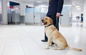 New Study Explains Detection Dog Errors in Sniffing Poop