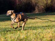 8 conseils pour apprendre à un chien à ne pas s'enfuir et à marcher sans laisse en toute sécurité