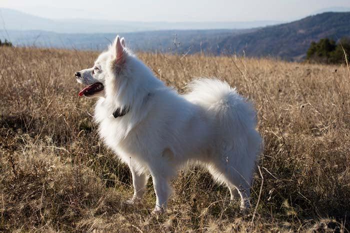 American Eskimo Dog is among the true American dog breeds