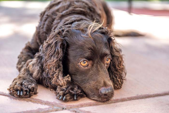 American Water Spaniel is among the true American dog breeds