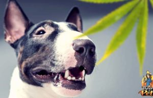 CBD for Dogs - What You Must Know