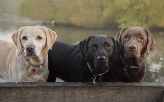 Labrador Life Expectancy Through Color - Chocolate Labs Are Less Healthy than Black or Yellow Labs
