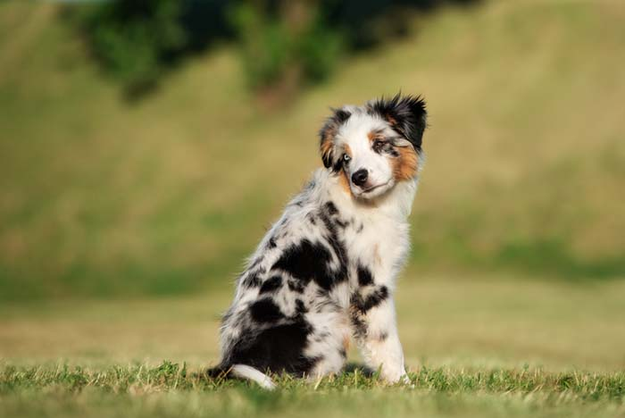 Miniature American Shepherd is among the true American dog breeds