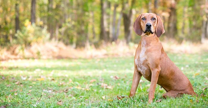 Redbone Coonhound is among the true American dog breeds