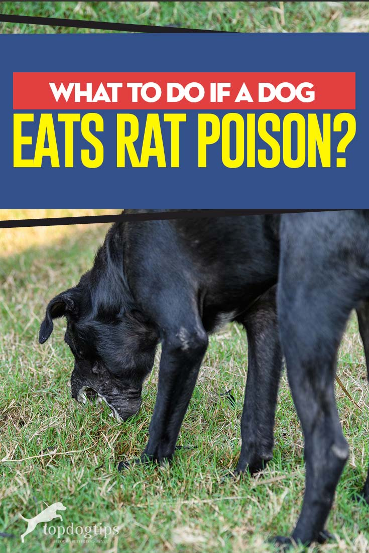 What to Do If a Dog Eats Rat Poison