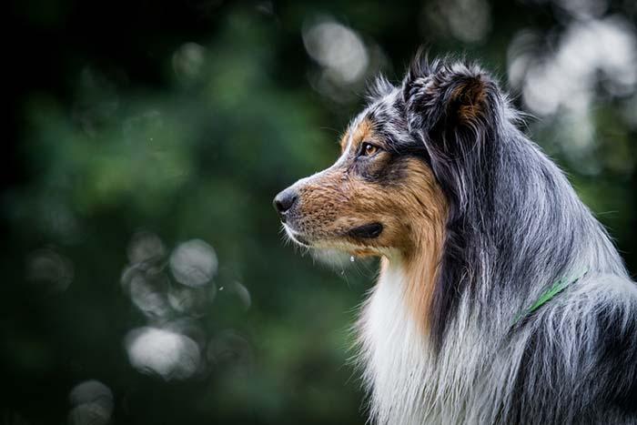 Australian Shepherd Health