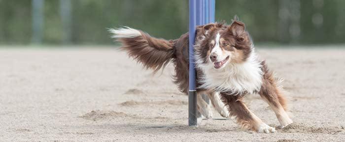 Dog Agility Sport