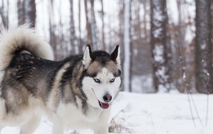 Siberian Husky Health