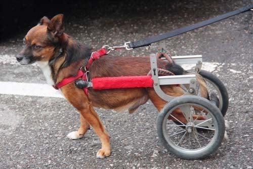 Wobbler Disease in dogs