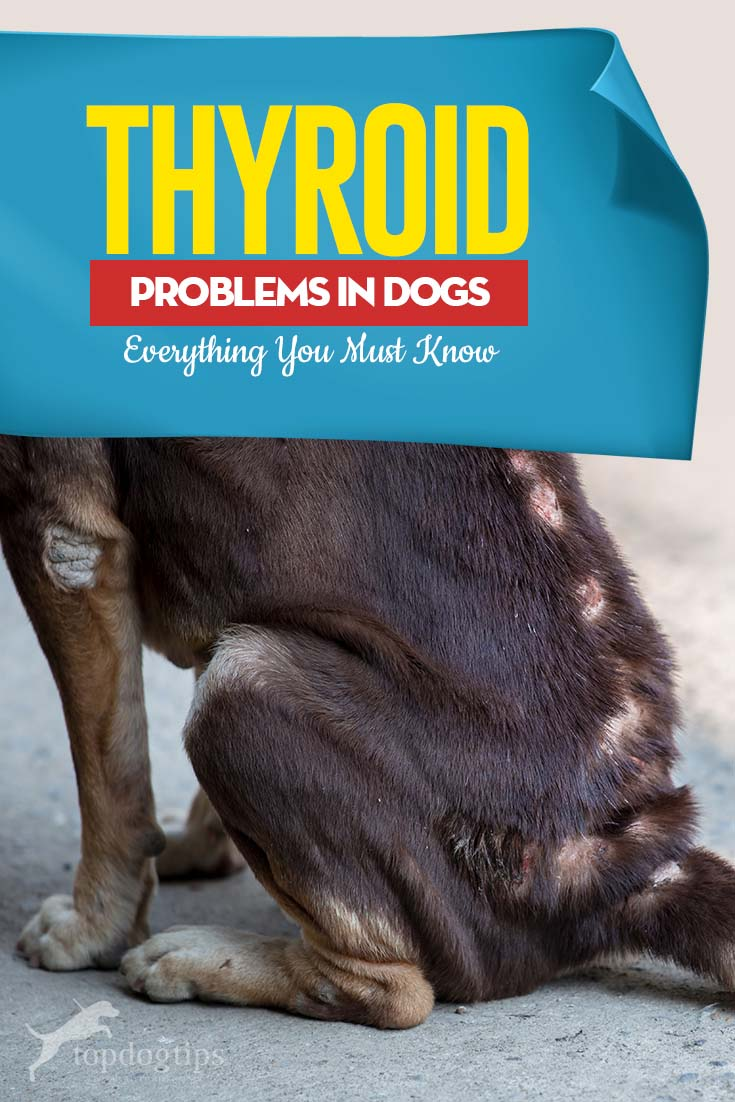 Most Common Thyroid Problems in Dogs and What to Do About Them