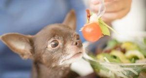homemade dog food for chihuahua