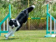 Best Dog Agility Jumps