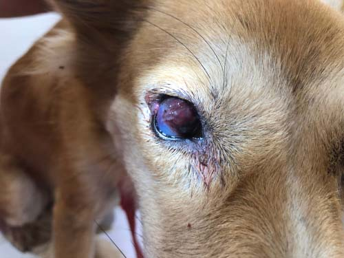 Fungal Infections in Dogs