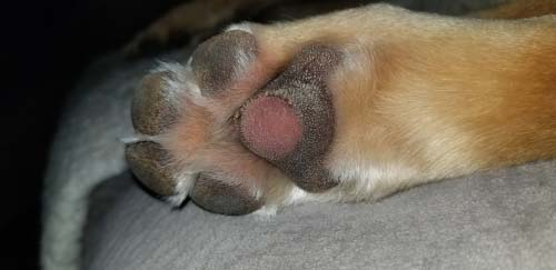 Burned dog paw