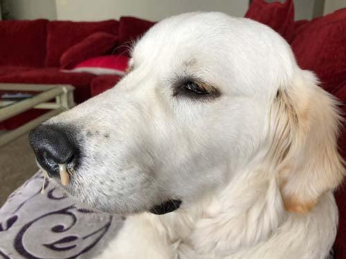 Canine Influenza Symptoms