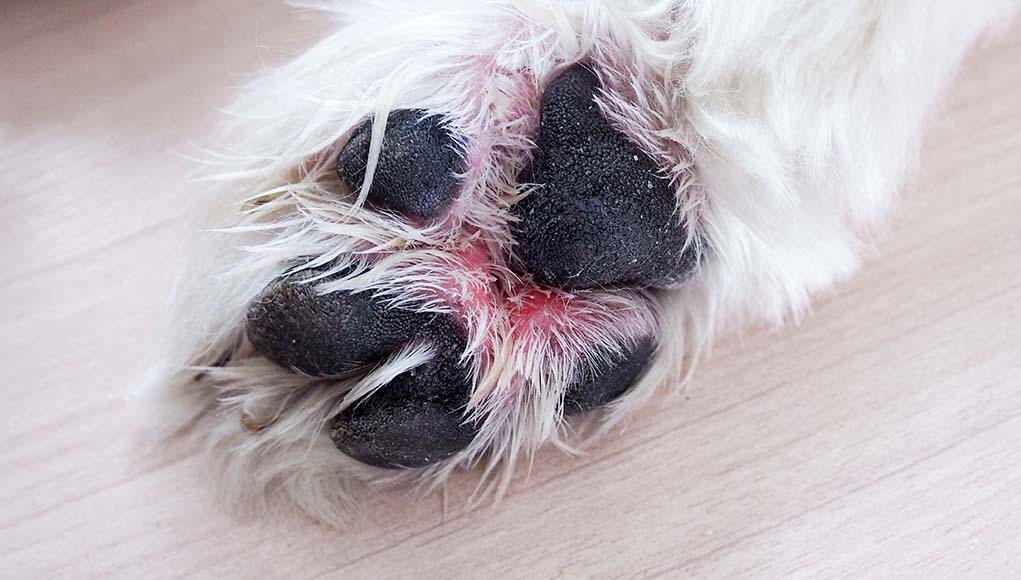 Dog Paw Problems and What You Should Know About Them