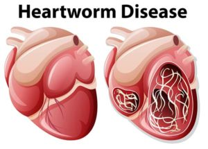 Heartworm disease in dogs diagram