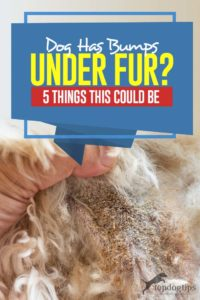 Your Dog Has Bumps Under Her Fur - 5 Things This Could Be