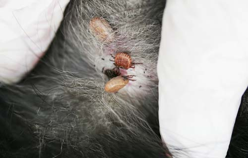 Ticks on a dog