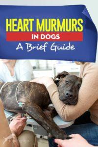 Guide on Heart Murmurs in Dogs