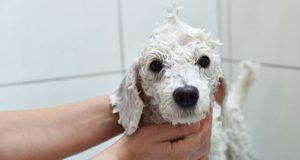 How to Make Whitening Dog Shampoo (DIY Step by Step)