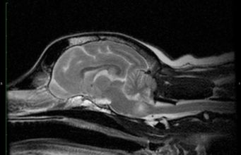 Brain Tumor in Dogs - Prognosis, Survival, and Treatment
