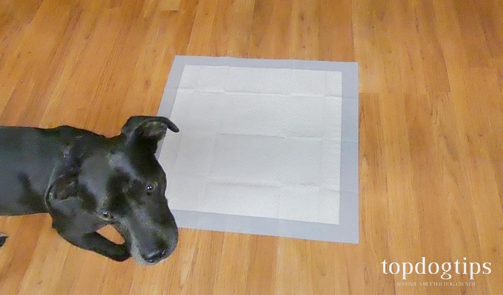 dog near potty pad