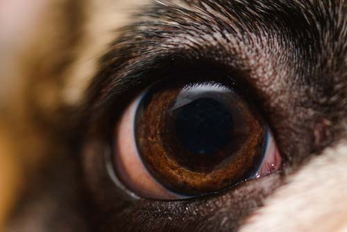 The Advanced Stage Symptoms of Rabies in Dogs