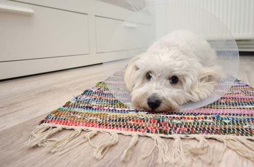 How Can I Stop My Dog from Licking Carpet