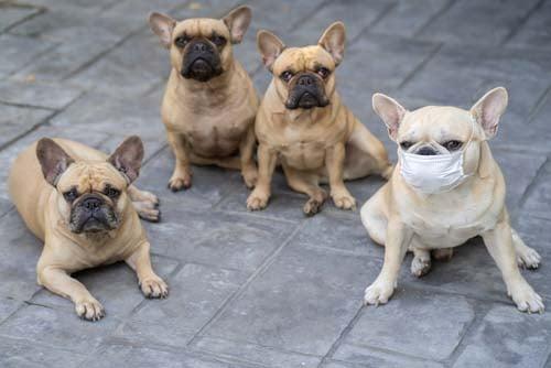 Canine Influenza (Dog Flu, Canine Flu)