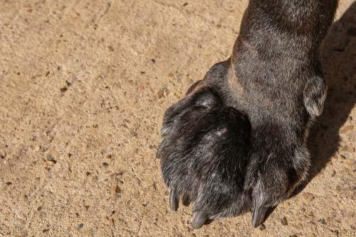 Immune-Mediated Polyarthritis in dogs (IMPA)