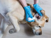 How to Treat a Dog Ear Infection
