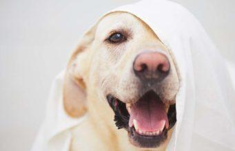 20 Labrador Retriever Facts You Never Knew