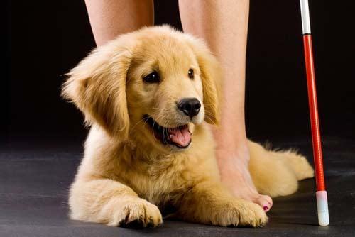 Buying a Service Dog vs Training Your ExistingDog