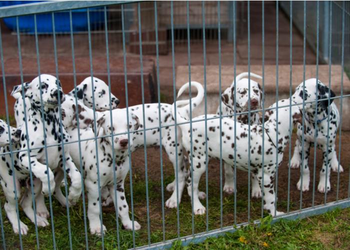 reputable dog breeders