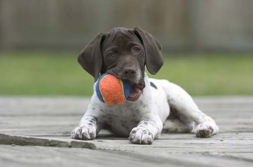 dog chewing on tennis ball