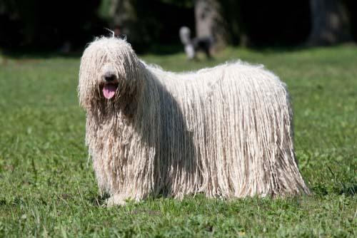 Komondor dog breed