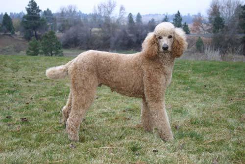 Standard Poodle dog breed