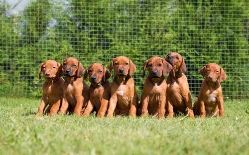 breeder puppy litter