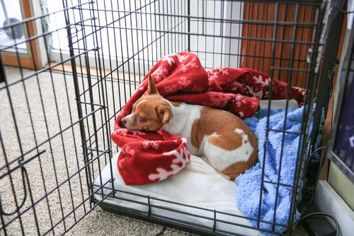 dog sleeping in crate with blanket