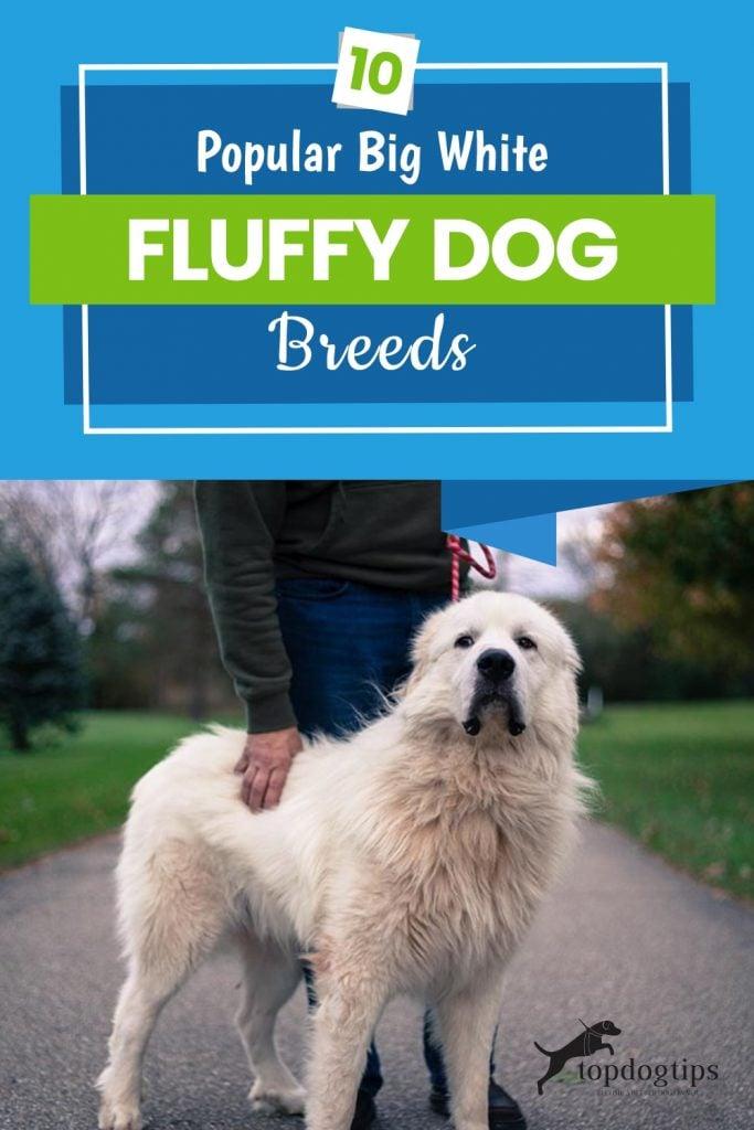 10-Popular-Big-White-Fluffy-Dog-Breeds