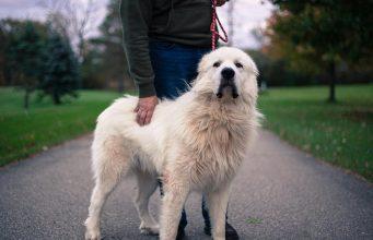 10 Popular Big White Fluffy Dog Breeds