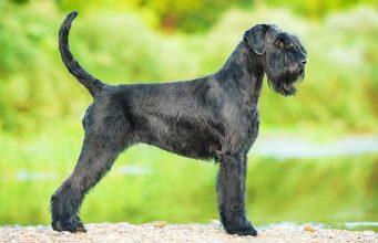 9 Popular Black Dog Breeds