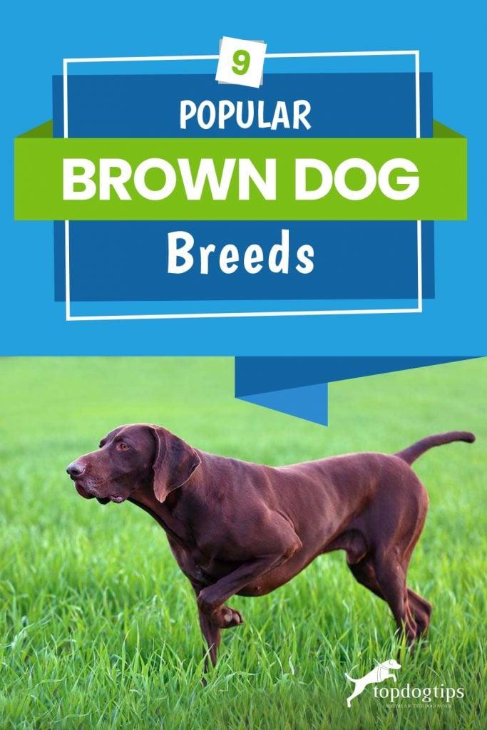 9-Popular-Brown-Dog-Breeds