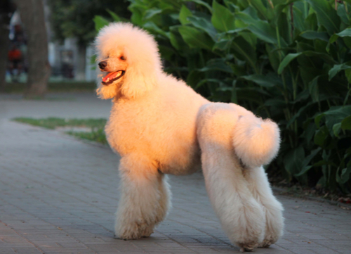 standard white poodle standing