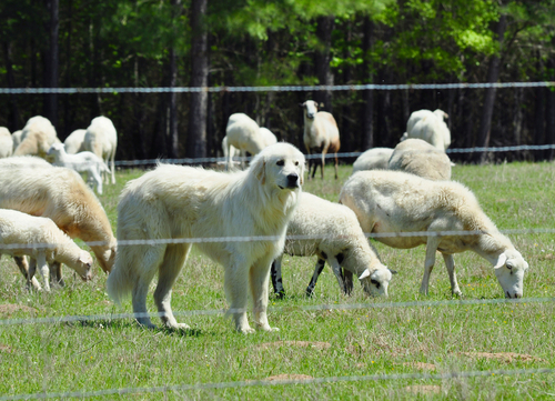 great pyrenees watching after sheep