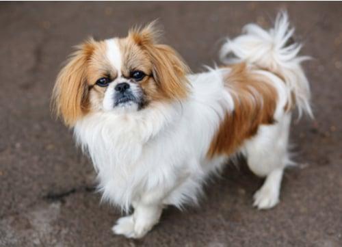 pekingese dog breeds