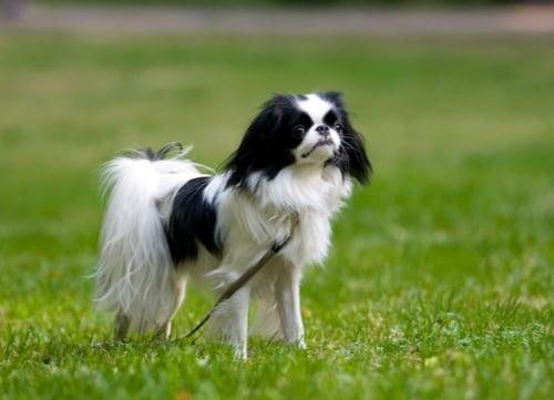 japenese chin dog breed
