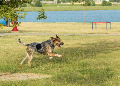 bluetick coonhound running in park
